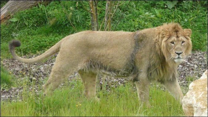 On trouve des lions en Orient !