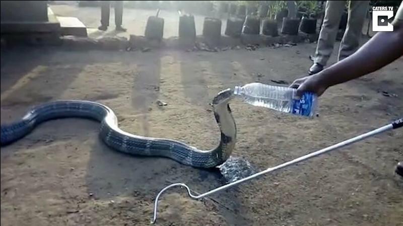 Le cobra royal est oriental !