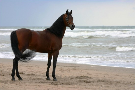 Laquelle de ces races ne correspond pas à un cheval oriental ?