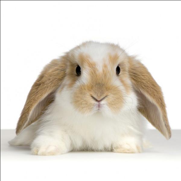 Le lapin est un rongeur :