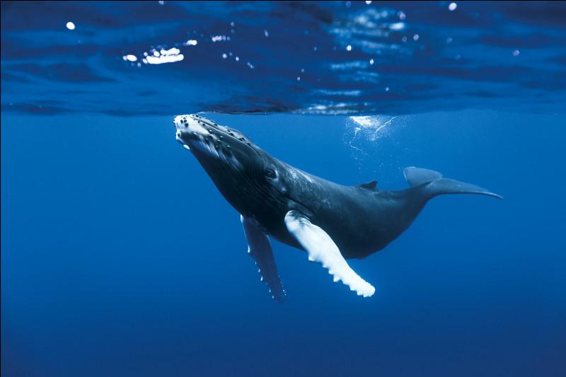 La baleine bleue est le plus grand animal trouvé dans l'eau :