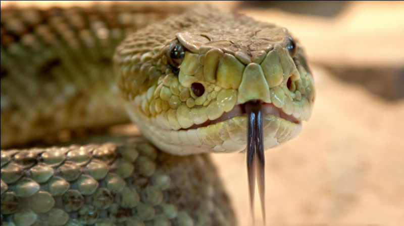 Le plus grand serpent est le python royal :