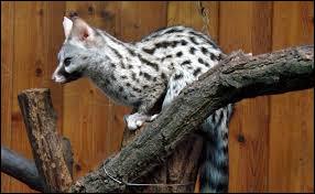 Cet animal, qui appartient au sous-genre Viverrinae, est :
