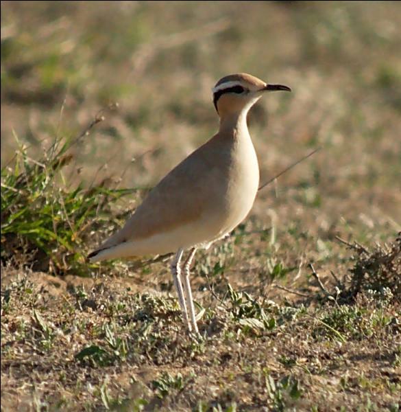 Mais où vit donc cet oiseau majestueux, nommé Courvite isabelle ?