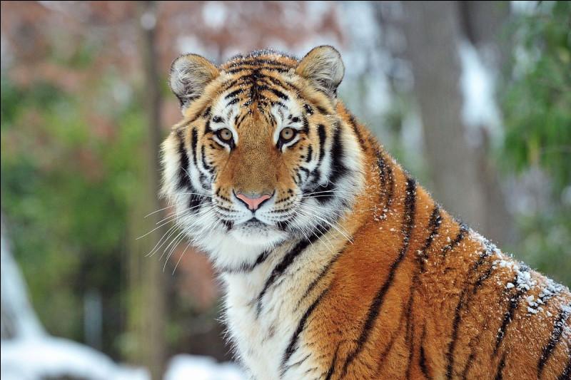 Pourquoi il n'y a presque plus de tigres ?