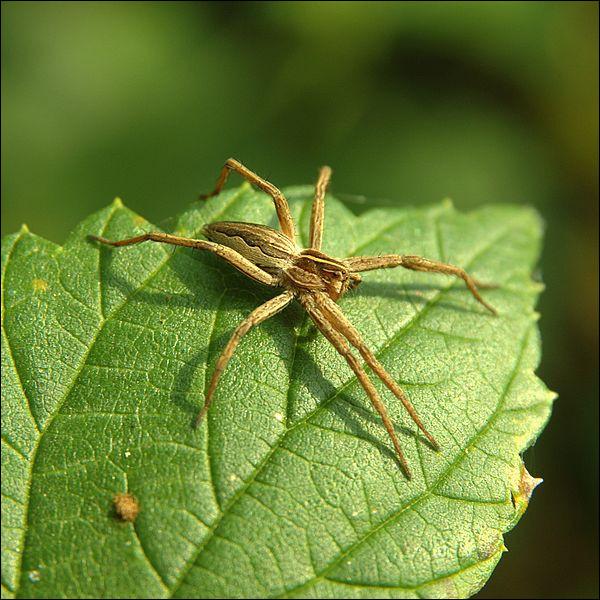 Les araignées ci-dessous existent vraiment : - L'araignée pirate - L'araignée loup - L'araignée Napoléon - L'araignée punk- L'araignée Arlequin - L'araignée Citroën - L'araignée concombre - L'araignée petite bouteille