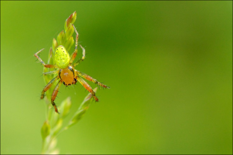 Il existe une plante dont la fleur ressemble très fort à une araignée.