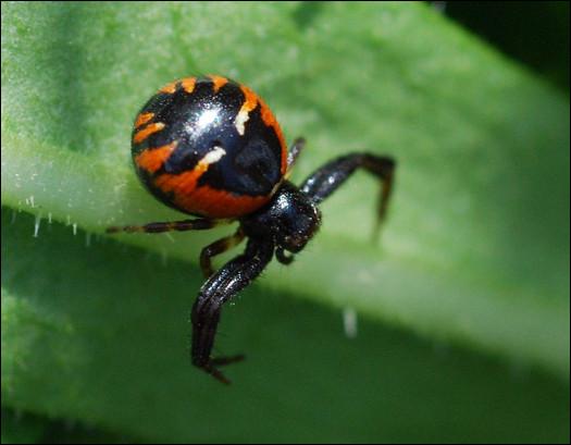 Il existe une araignée aquatique en Belgique.