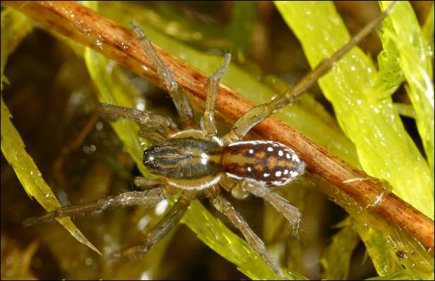 Les araignées ont une durée de vie d'un an.