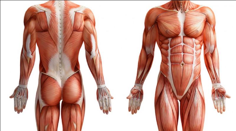 Dans quelle partie du corps humain, le muscle trapèze se trouve-t-il ?