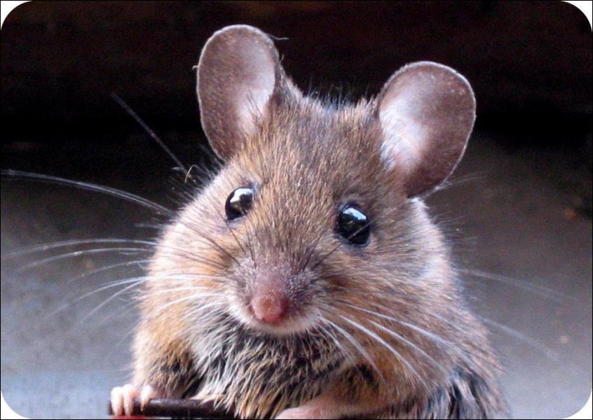 La souris est...