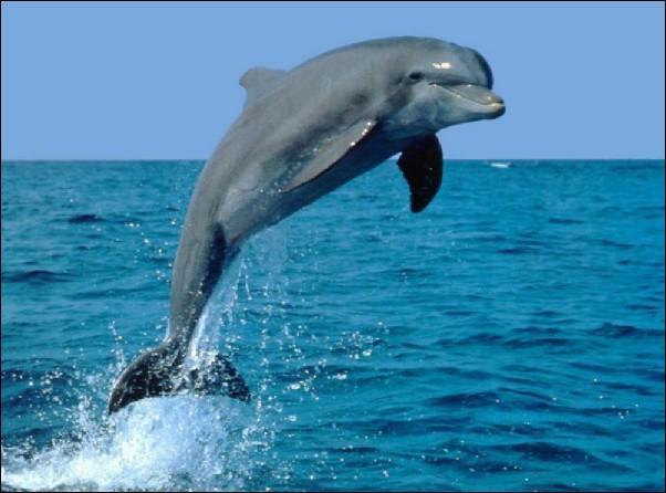 Le dauphin est...