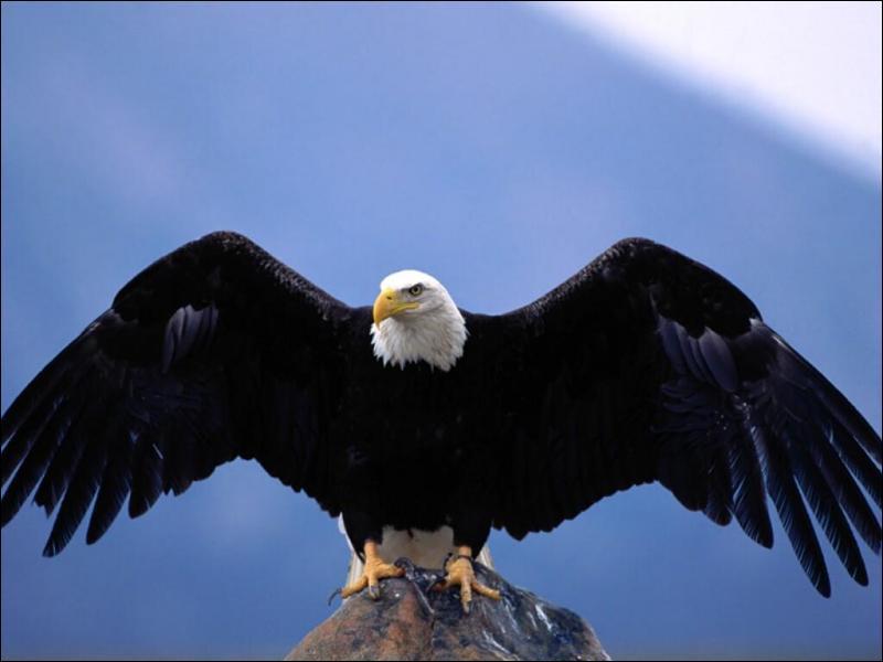 L'aigle est... .