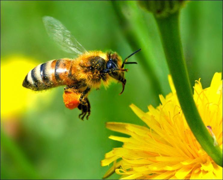 L'abeille est...