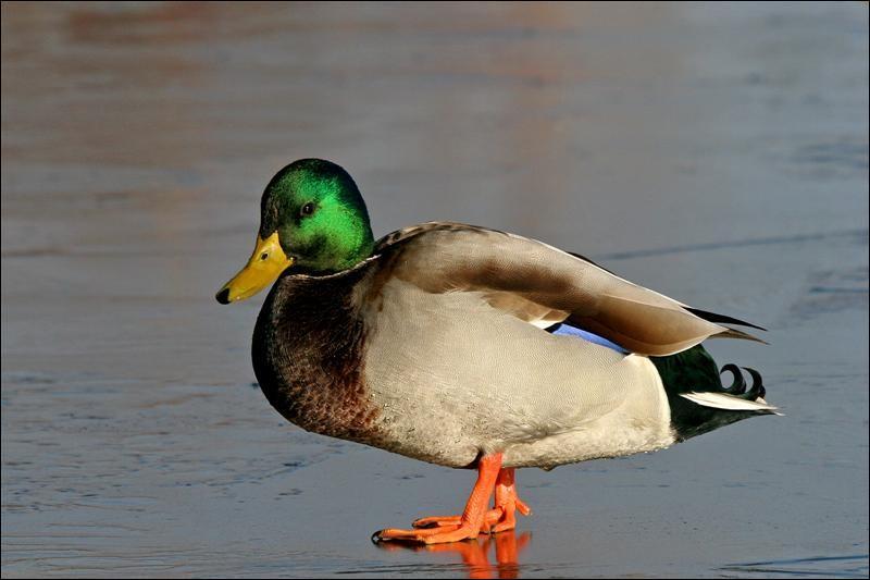 Le canard est...