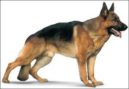 Le chien est...