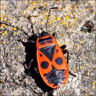 Sous quel nom est plus connu le pyrrhocore, insecte dont les motifs sur le thorax rappellent un uniforme ?