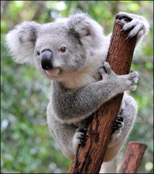 De quelle espèce est le koala ?