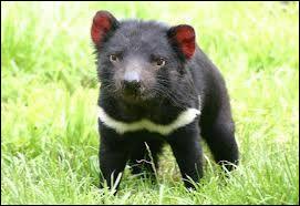 Pourquoi appelle-t-on cet animal le diable de Tasmanie ? À cause de...