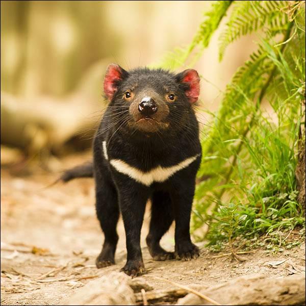 Le diable de Tasmanie est...