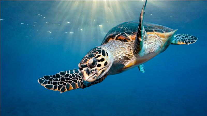 Combien d'œufs peut pondre une tortue de mer en 1 année ?