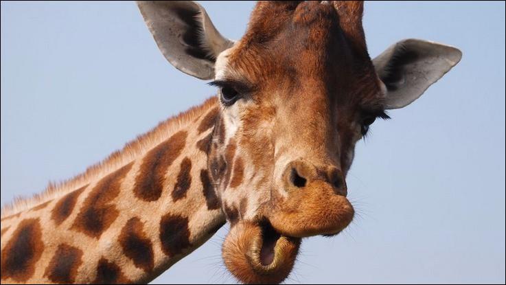 Combien de mètres la girafe mesure-t-elle en moyenne ?