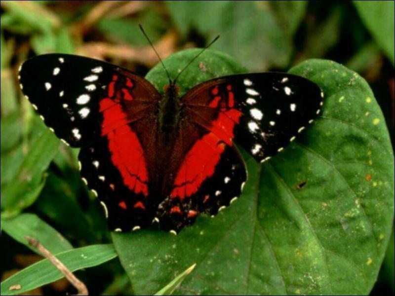 Le papillon est...