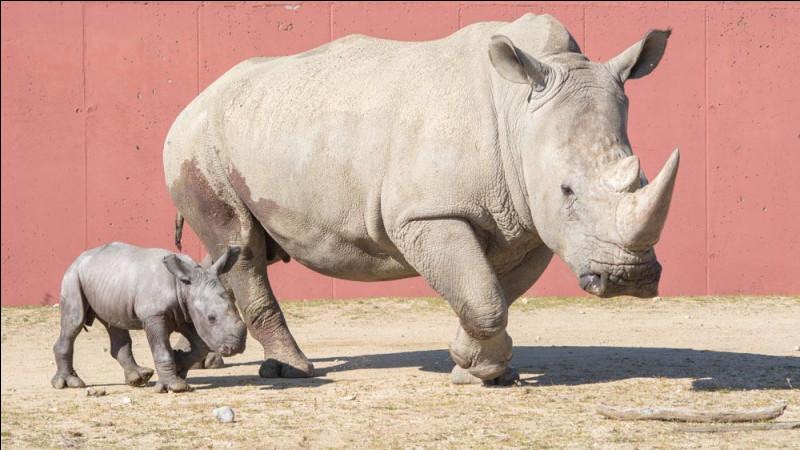 Quel est l'ancêtre du rhinocéros ?