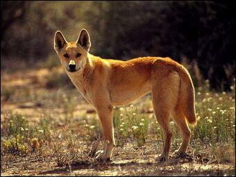 Où habite le dingo ?