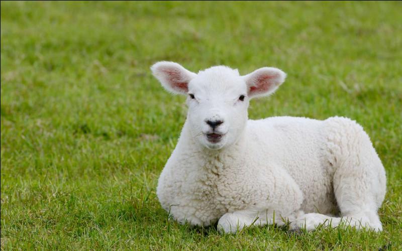 Combien en moyenne le mouton donne-t-il de laine par tonte ?