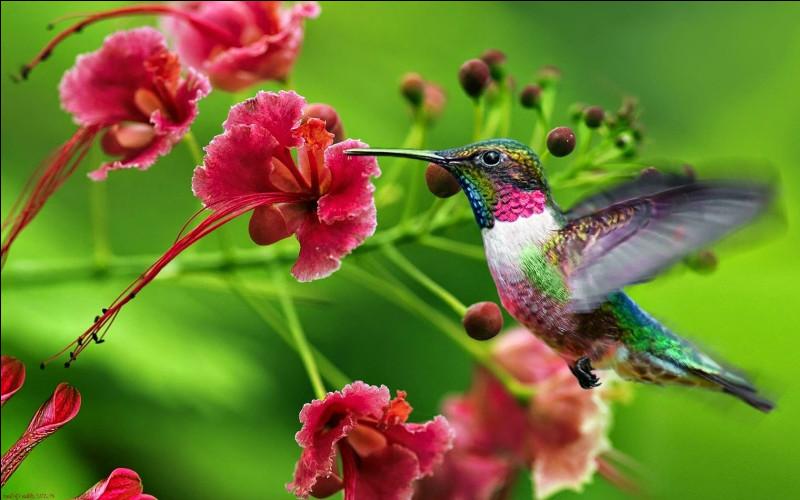 Quelle taille fait le colibri ?