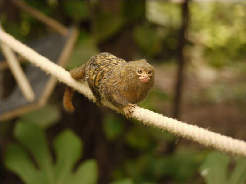 Où habite le ouistiti pygmée ?