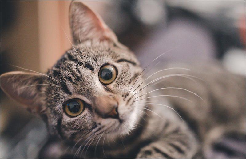 Quelle race de chat vient des États-Unis ?