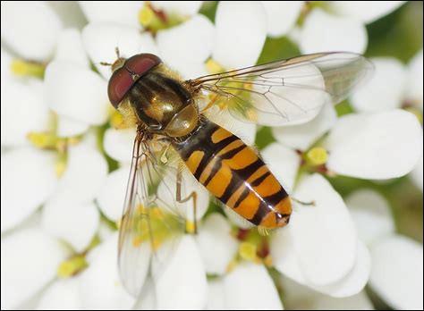 Le syrphe, joli petit insecte qui adore butiner dès les premières chaleurs est en fait :