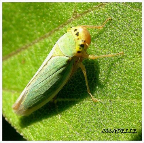 La cicadelle verte est :