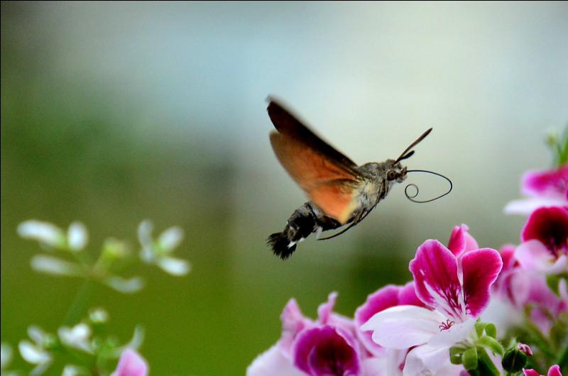 À quoi compare-t-on souvent le moro-sphinx , cet étrange papillon au corps massif ?