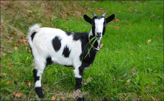 La femelle du chien est une chèvre :