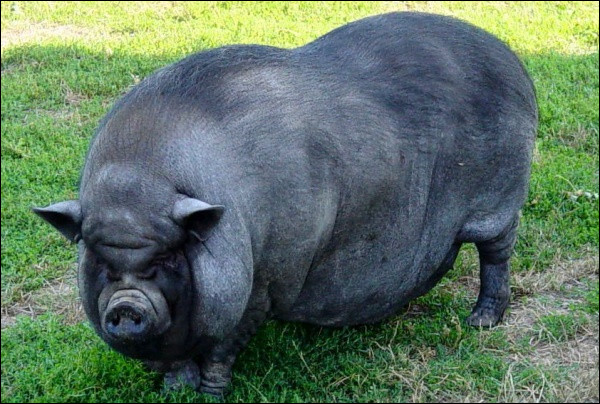 Albus Dumbledore est un cochon :
