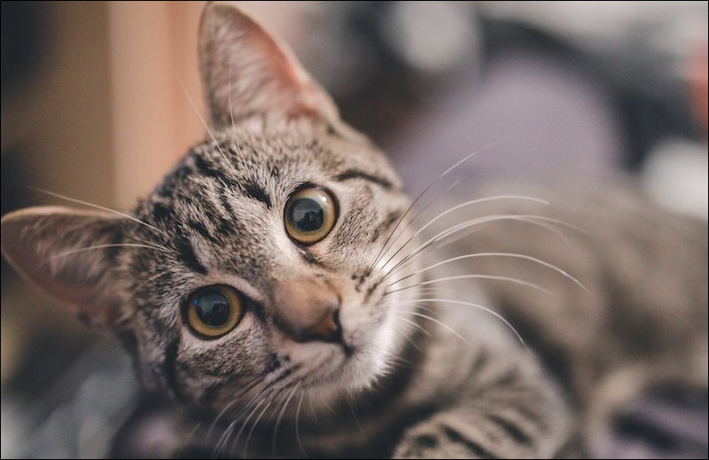 Voici à quoi ressemble un chat :
