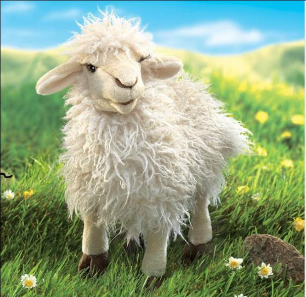 Question très dure : les moutons ont tout le temps la laine blanche :