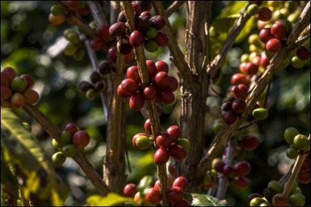 Quel est le pays d'Amérique du Sud qui produit le plus de café au monde ?