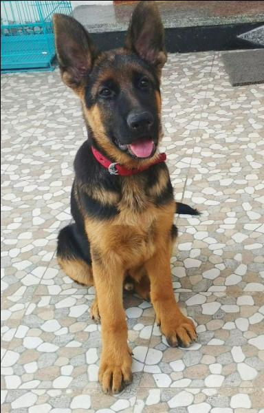 Connais-tu bien ton chien berger allemand ?