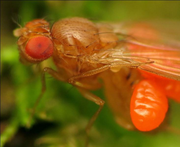 Cette mouche fait partie de la famille des Trombidiidae.