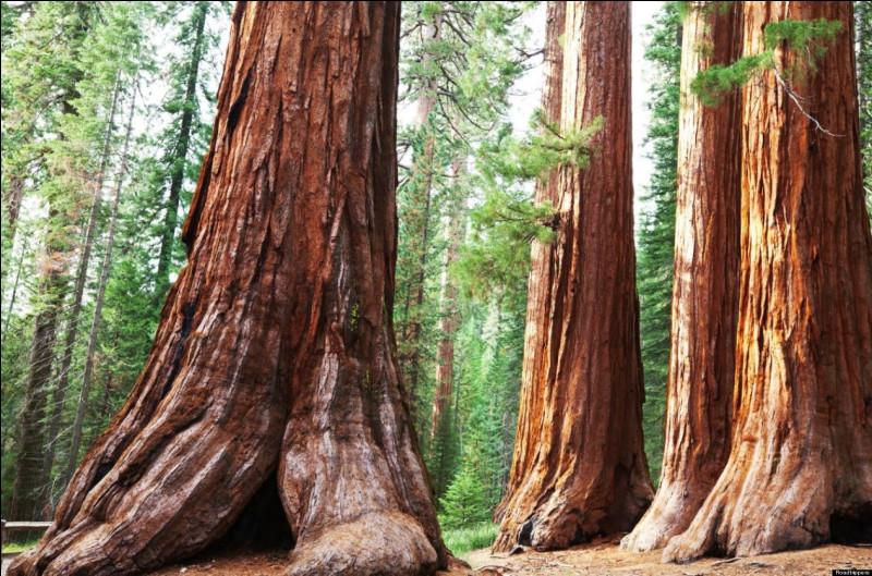 Les séquoias peuvent mesurer plus de 100 mètres de hauteur et 8 mètres de diamètre.