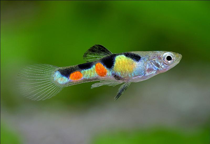 Quel est le nom de ce poisson qualifié de sauvage, alors qu'il est tout de même le N° 1 des aquariums ! ?