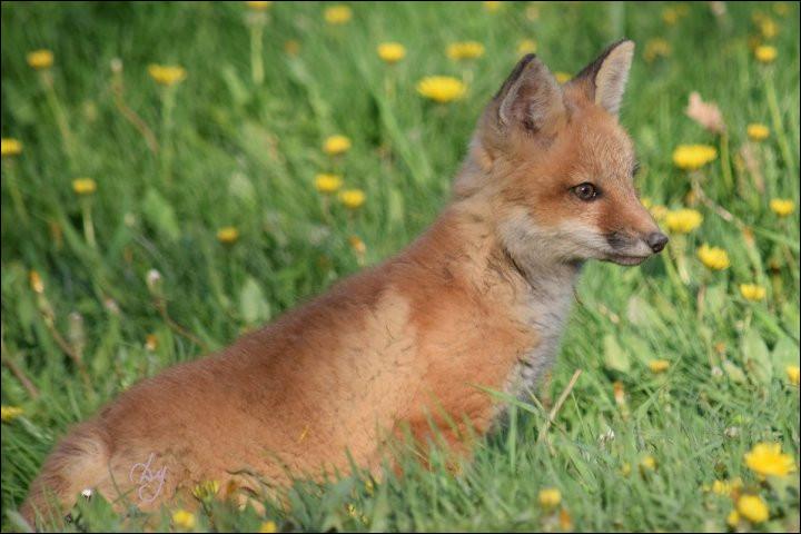 Quelle race de renard est la plus petite ?