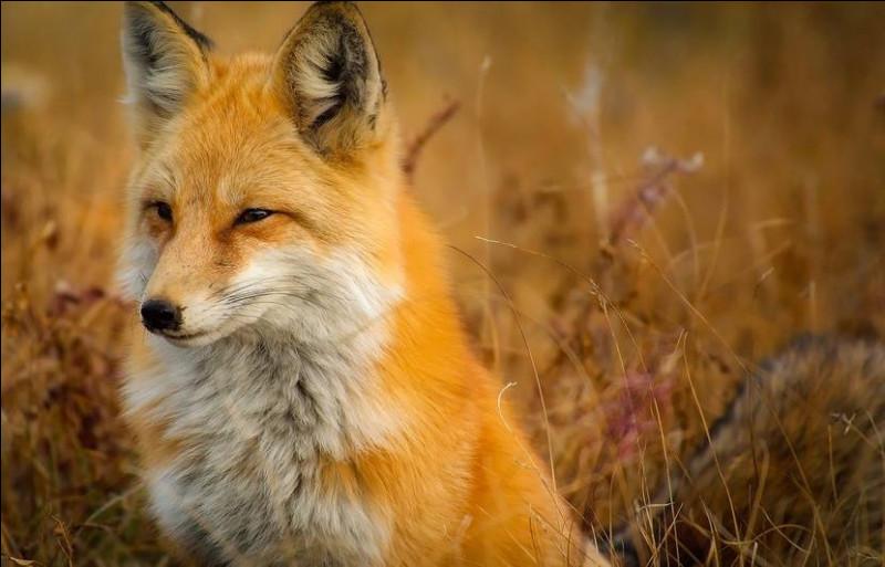 Et quelle race de renard est la plus grande ?