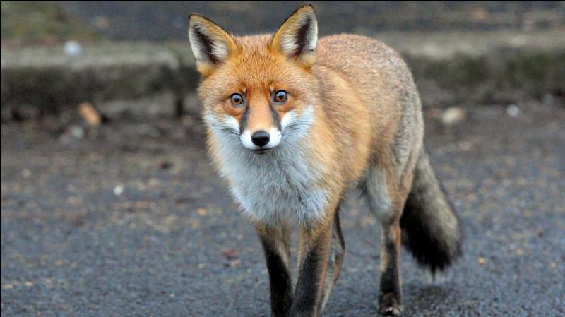 Quelle est la nourriture la plus fréquente chez les renards ?