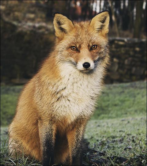 Que fait le plus, le renard, la journée ?