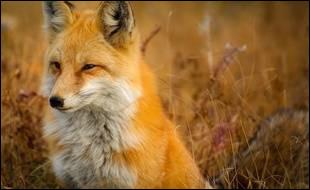 Dans quel pays, y a-t-il le plus de renards ?